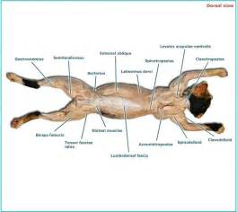 cat muscle anatomy picture 7