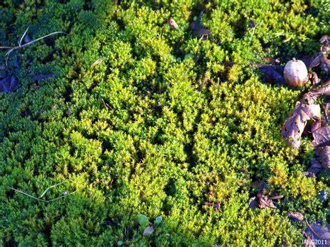 licorice fern picture 19