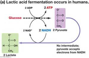 lactic acid yeast for fat loss picture 2