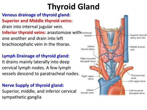 what is the shape of the thyroid gland picture 3