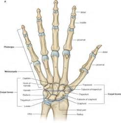 medal carpal joint picture 13