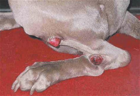 dog swollen paws swollen legs picture 7