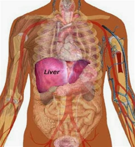 where is the liver in the body picture 7