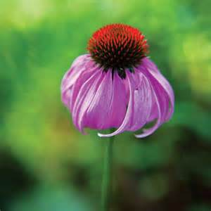 echinacea research picture 5