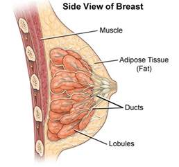 bovine ovary for male breast development results picture 5