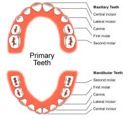 children teeth baby permanent when to pull picture 7