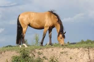 buck skin horse picture 1