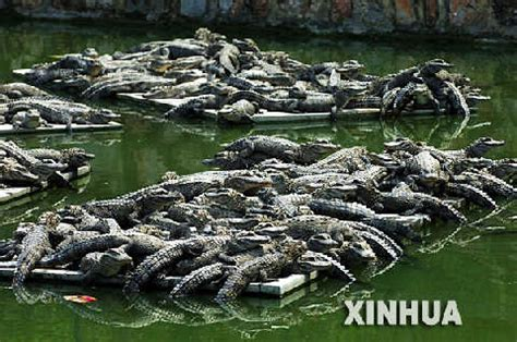 number of h alligators have picture 1