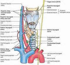 esophogus and thyroid picture 13