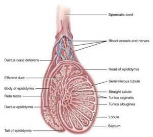 Define epidytimis picture 11