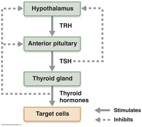 what is tsh thyroid stimulating hormone picture 7