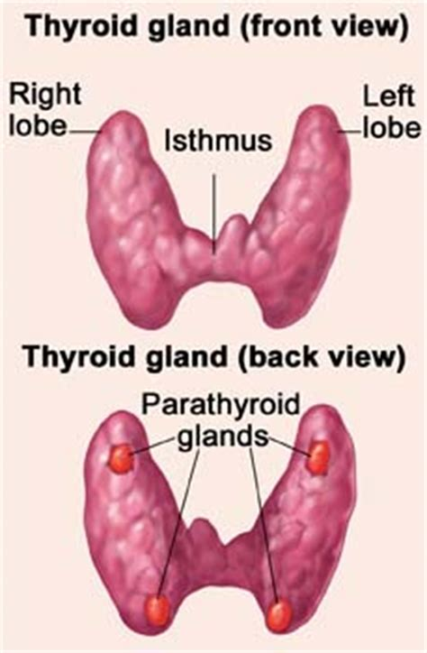what does it means when the thyroid gland picture 10