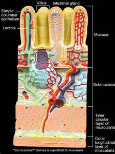 small intestinal wall picture 10