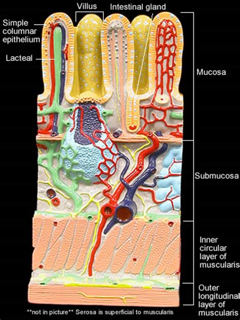 small intestinal wall picture 7