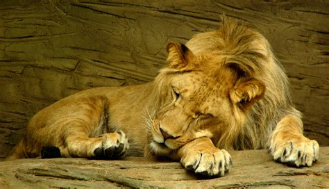 a lion sleeping picture 3