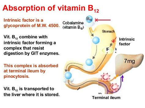 digestion of vitamins picture 10