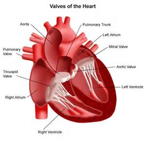 erectile dysfunction and aortic heart valve picture 2