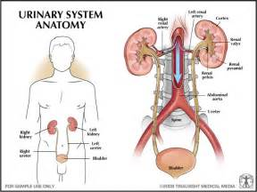human urinary system picture 7