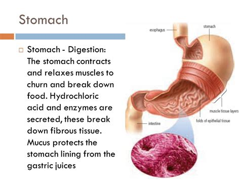mucus lining stomach protectants picture 10