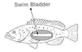 displaced swim bladder picture 1