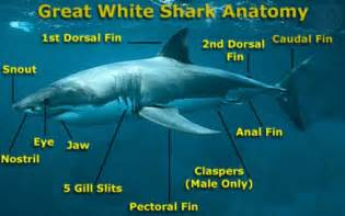 how many h does a greatwhite have picture 3