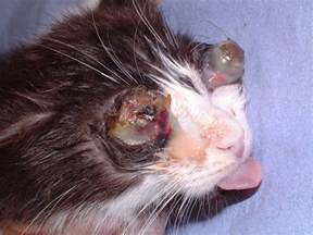 feline herpes picture 1