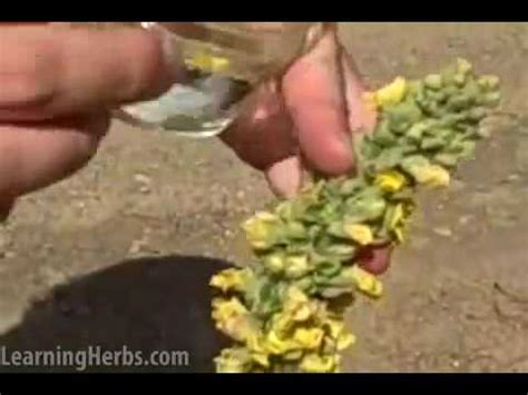 mullein oil remedy picture 14