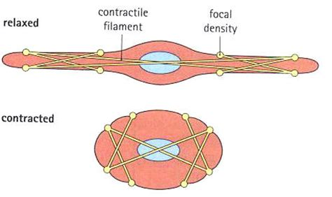 contraction in smooth muscle tissue picture 15