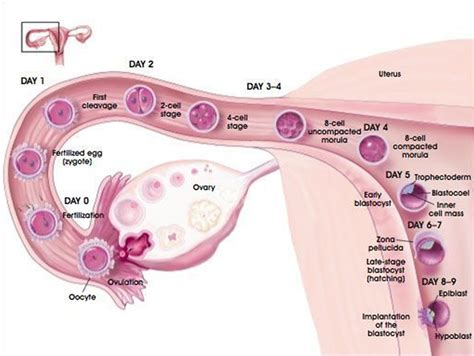 ovary and uterus cleanse picture 15