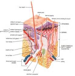 nerve regeneration and keratin picture 7