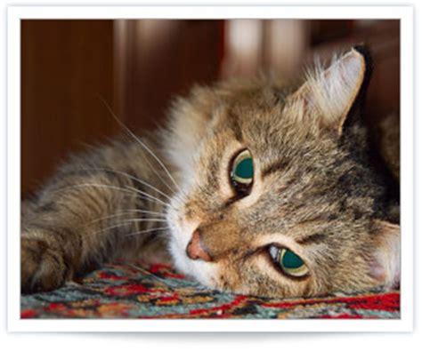 carnitine feline hyperthyroid picture 7