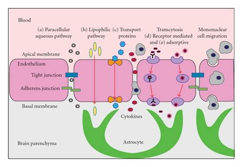 cytokines blood flow and ice picture 13