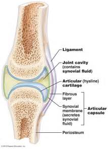 synovial joints picture 7