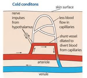 Sympathetic blood flow picture 5