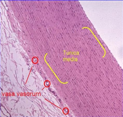 cardiac muscle picture 18