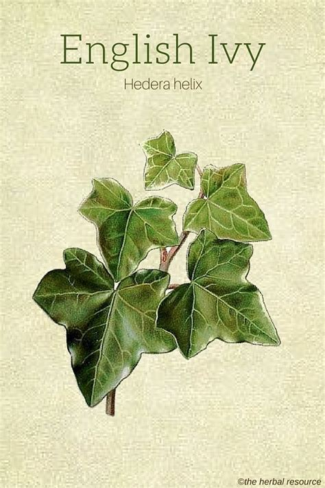english herbal plant picture 3