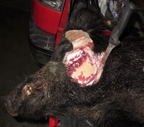 wild boar aging picture 2