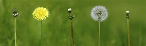 stages of growth of dandelions picture 6