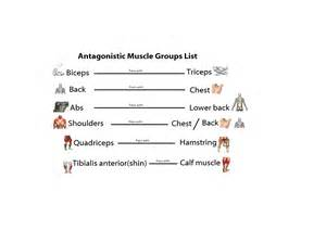 muscle agonist and antagonist list picture 1