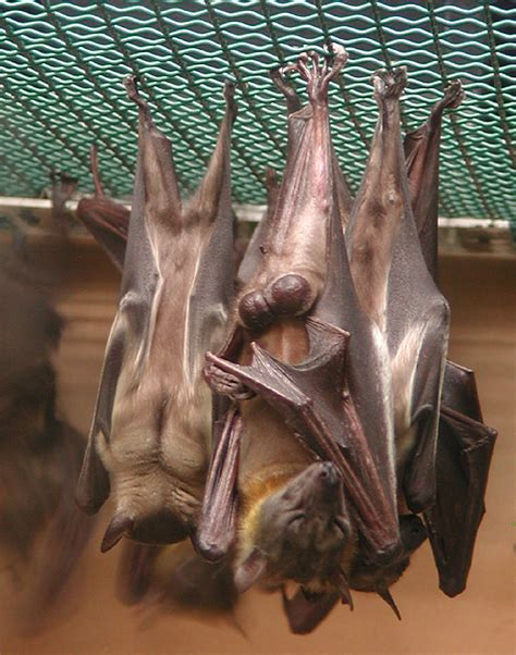 pictures of bats sleeping picture 7