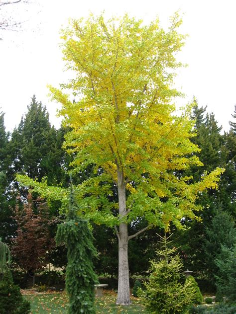 ginkgo tree facts picture 1