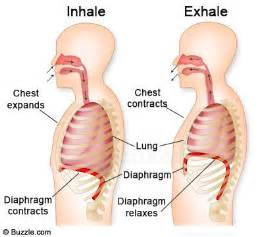 diaphram muscle for breathing picture 9