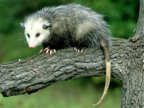 pictures of opossum h picture 15