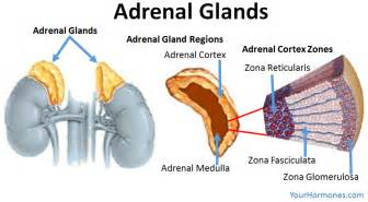adrenal gland picture 13