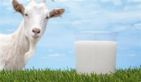 cow digestion picture 10