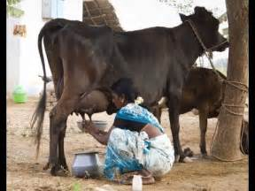 women being milked like cows picture 2