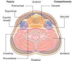 how to say the superficial muscles of the picture 9