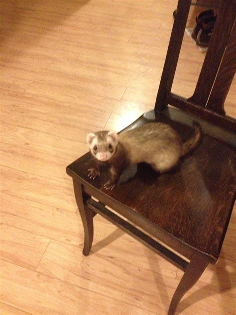 what to feed my ferret to help him picture 2