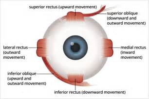 eye muscle control picture 2