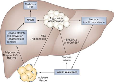 what does the liver do picture 1